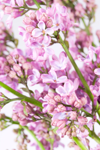 How to Save a Dying Lilac Bush