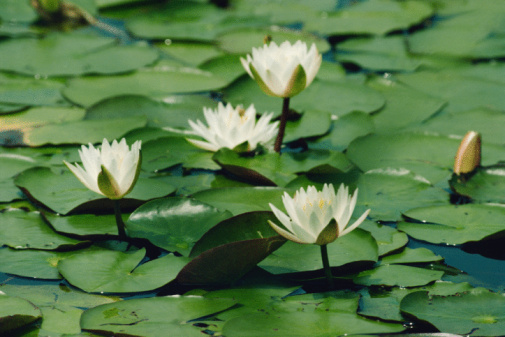 How to Grow Lily Pads