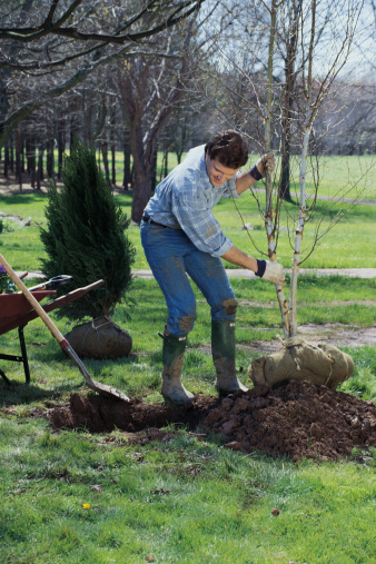 How to Move a Crape Myrtle Tree