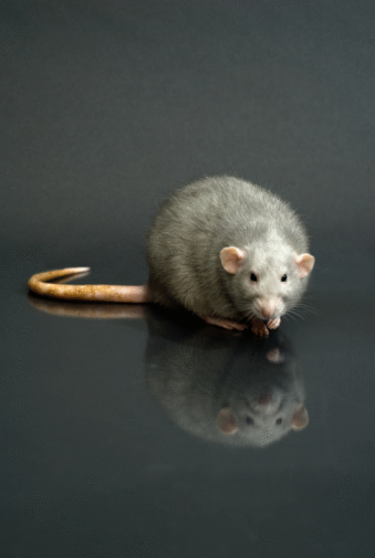 How to Locate a Dead Rat