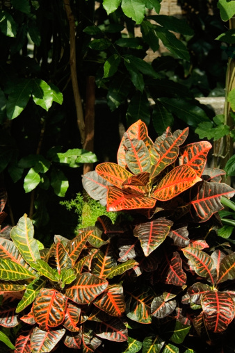 Types of Croton Plants