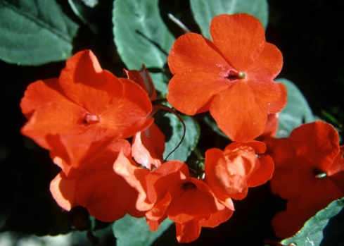 Flowers That Look Like Impatiens