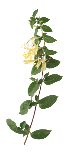 Is the Jasmine Plant Related to Honeysuckle?