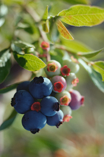 How to Tell Blueberries Are Ripe