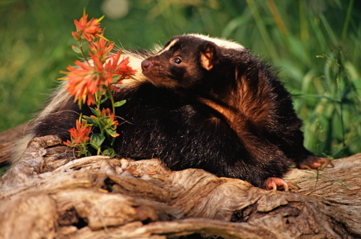 Natural Ways to Get Rid of Skunks