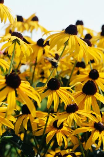 Flowers That Look Like Sunflowers