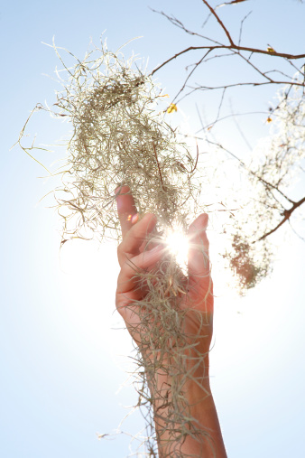 How to Transplant Spanish Moss