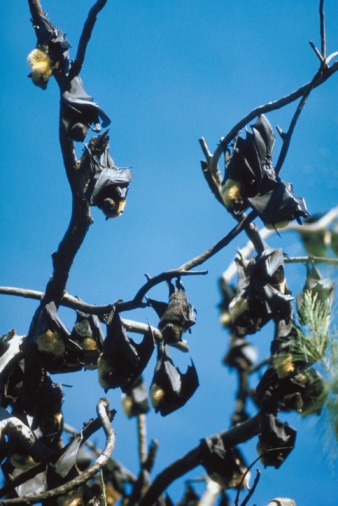 Tree Cutting Restrictions Due to Indiana Bats