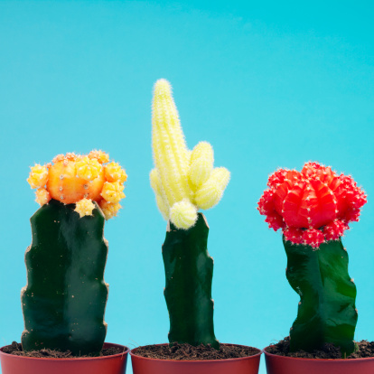 How Big Do Moon Cactus Grow?