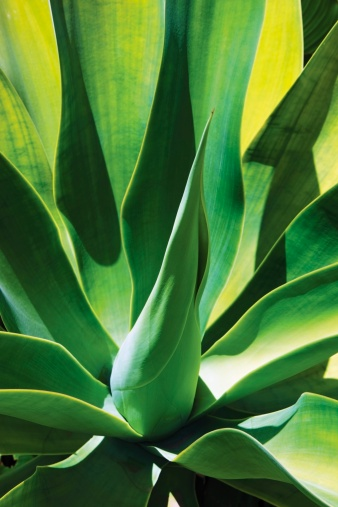 Is Agave a Cactus?