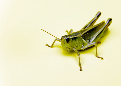 Will a Distilled Vinegar Spray Get Rid of Grasshoppers?