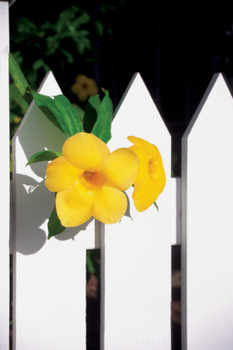 How to Grow Allamanda
