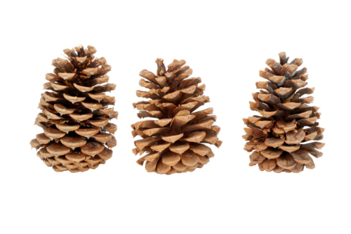 How to Grow Evergreen Trees From Pine Cones