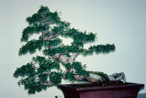 How to Propagate Chinese Elm