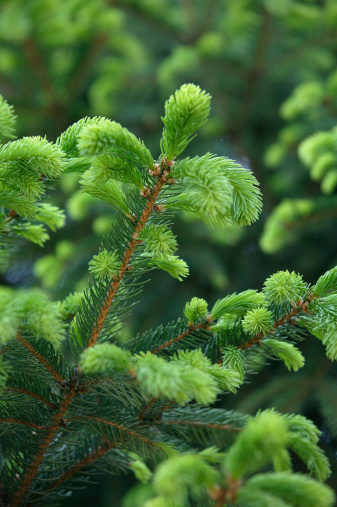 How to Make Evergreens Grow Faster