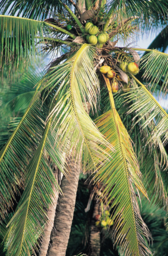 description of a coconut tree hunker size and form
