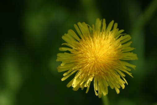 Weed Killer for Dandelions That Is Safe & Won't Kill Grass
