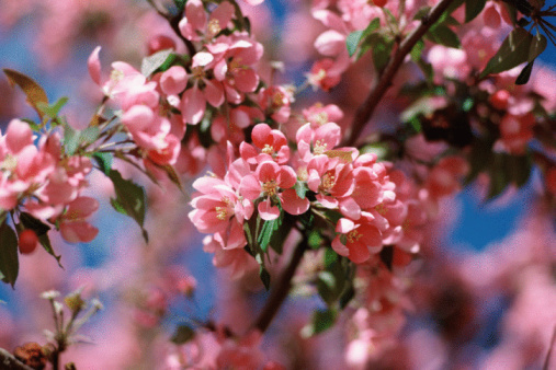 Pink Flowering Tree Identification | Hunker