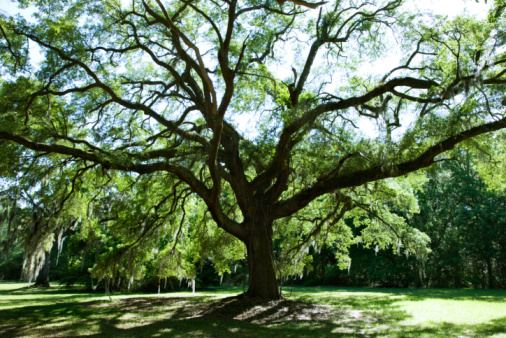 Oak Trees Can Develop A Deep Root System