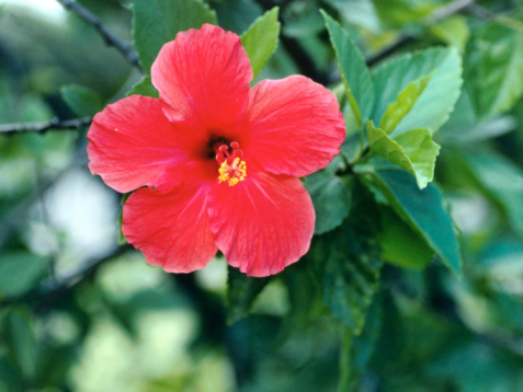 What Is The Structure Of Hibiscus Flowers Hunker