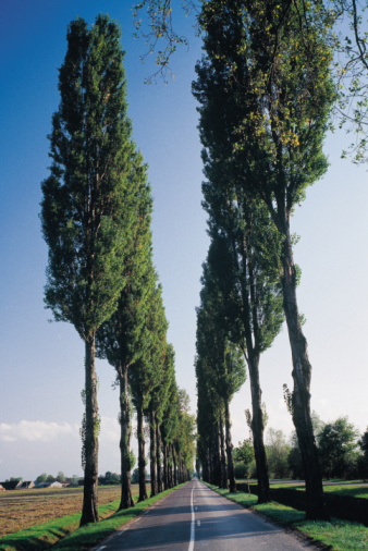 What Is the Difference Between a Poplar & a Cottonwood Tree?