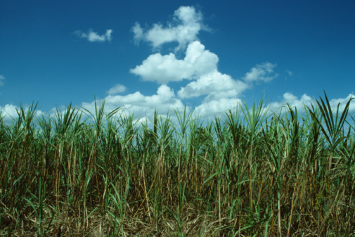 How to Grow Sugarcane in Zone 5