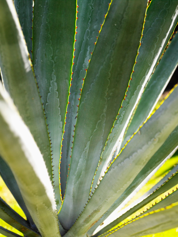 Care & Disease of Agave Plants