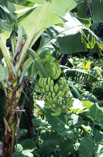 How Long Does it Take for a Banana Flower to Become a Fruit?