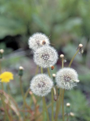 When Do Dandelions Bloom?