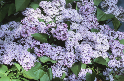 How to Identify Lilacs