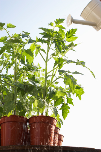 How to Tell if Your Tomato Plant Is Determinate or Indeterminate