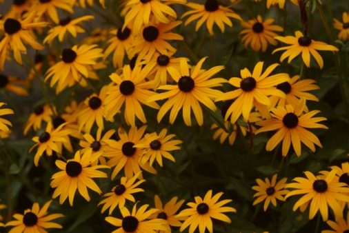 How to Cut Back Black-Eyed Susans