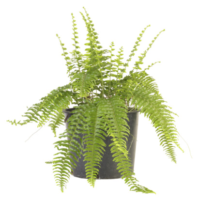 How to Revive Ferns