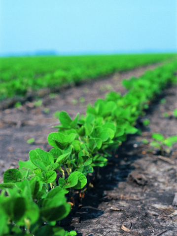 What Is the Best Climate for Growing Soybeans?