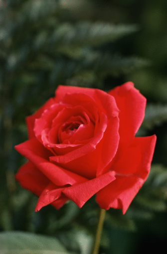 Places to Buy a Single Red Rose