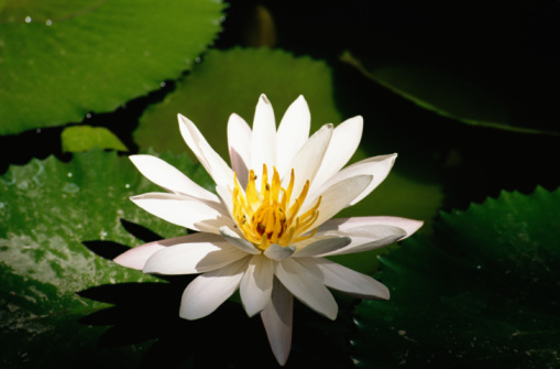 Uses of lotus flowers hunker food all parts of the lotus flower mightylinksfo