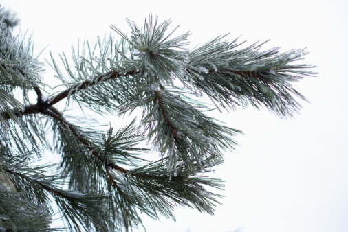 List the Names of Pine Trees