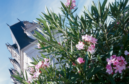 How to Plant an Oleander Hedge