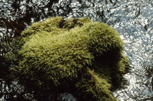 How to Make Irish Moss Grow Quickly