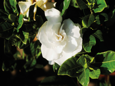How to Save a Gardenia Plant