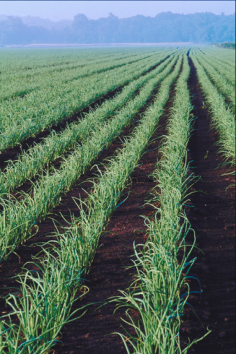 What Are the Best Fertilizers to Use to Get Large Onions?