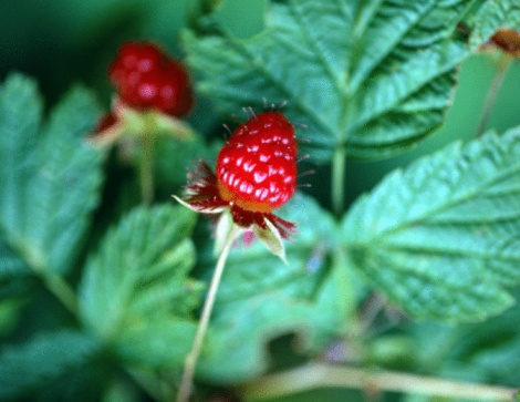Do Raspberries Need a Cross Pollinator?