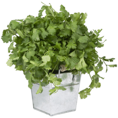 How to Regrow Cilantro
