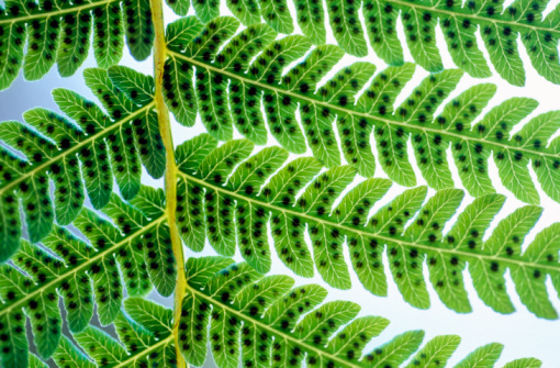 Common Uses for Ferns