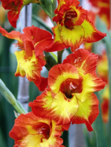 How to Transplant a Gladiolus