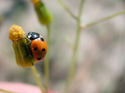 How Do I Tell the Difference Between Girl Ladybugs and Boy Ladybugs?