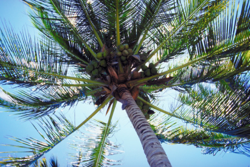Can Coconut Palm Trees Grow in Arizona?