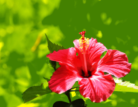 How to Tell If a Hibiscus Is Dead