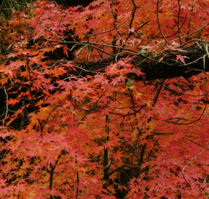 How Many Years Can a Japanese Maple Live?