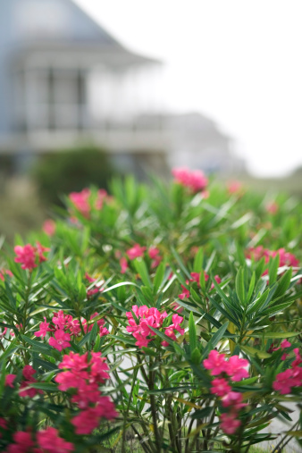 How Far Apart to Plant Oleander?